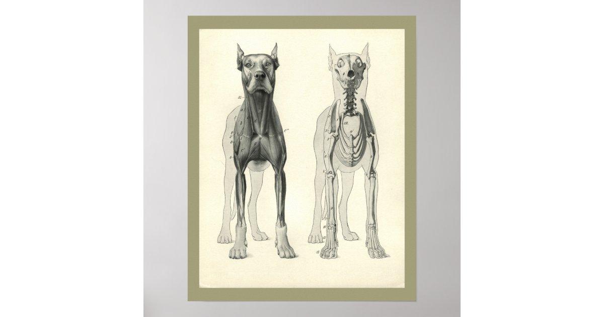 Hundeschädel-Bein-Skeleton Muskel-Anatomie-Druck Poster | Zazzle.ch
