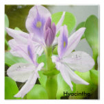 Hyacinthe Posters