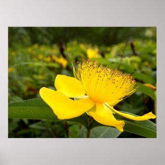 Hypericum Calcyinum Plakat