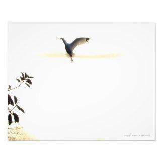 IBIS-Ballett im Flug-Foto-Druck Fotodruck