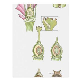 Illustration der Samenproduktion von a Postkarte