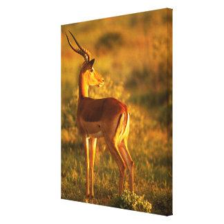 Impala im goldenen Licht Leinwanddruck