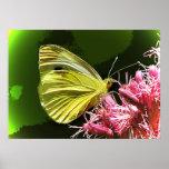 Impressions de papillon de soufre poster
