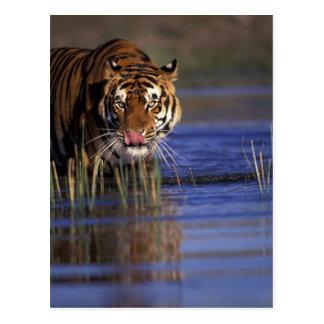 Indien. Bengalischer Tiger (Pathera der Tigris), Postkarte