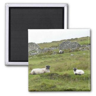Irisches Schaf Quadratischer Magnet