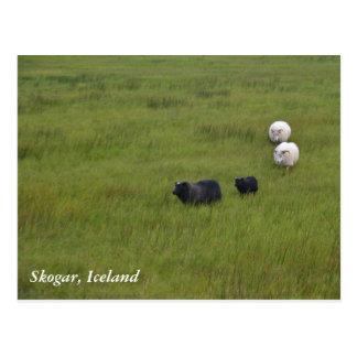 Isländische Schafe Postkarte
