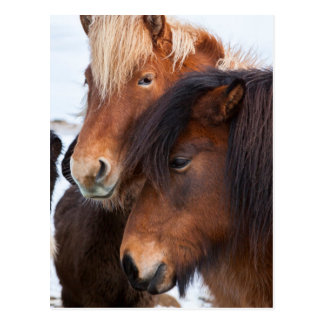 Isländisches Pferd während des Winters auf Island Postkarte