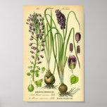 Jacinthe de raisin (neglectum de Muscari) Affiche