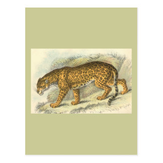 Jaguar, Felis onca Postkarte
