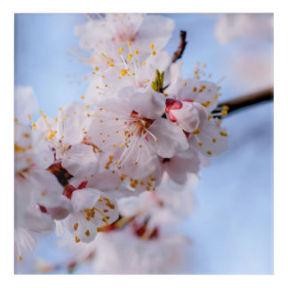 Japanische Aprikosen-Blüte Acryl Wandkunst
