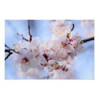 Japanische Aprikosen-Blüte Fotodruck