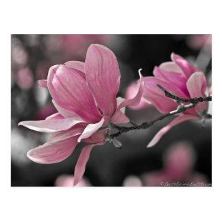 Japanisches Rosasaucer-Magnolie Postkarte