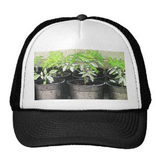 Jeunes plantes de tomate dans des pots de crèche casquettes