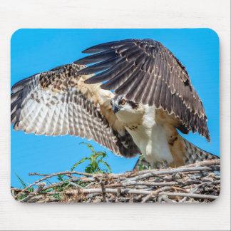 Jugendlicher Osprey im Nest Mauspads