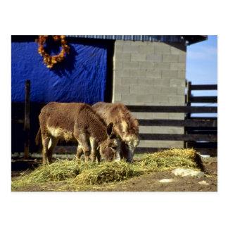 Junge Esel Postkarte