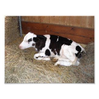 Junge Schwarzweiss-Kuh-Niederlegung Fotodruck