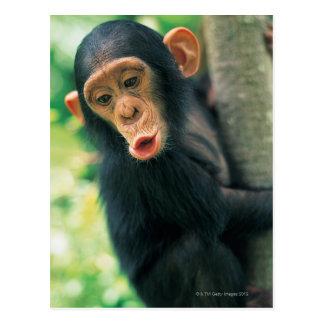 Junger Schimpanse (Pantroglodytes) Postkarte