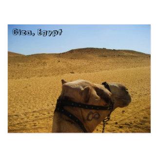 Kamel in Giseh-Postkarte Postkarte