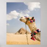 Kamel mit Pyramiden Giseh, Ägypten Poster