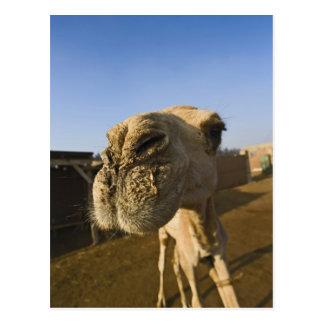 Kamelmarkt, Kairo, Ägypten Postkarten