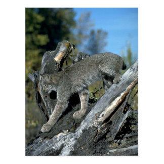 Kanada-Luchs, Herbst Postkarte