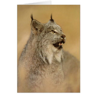 Kanada-Luchs (Luchs canadensis) - wilde Katzen Karte