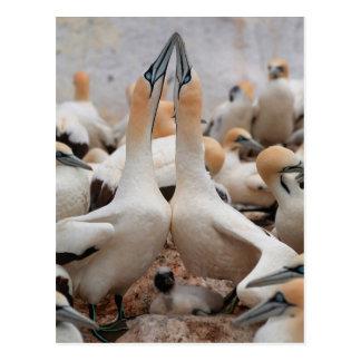 Kap Gannet Paarfechten Postkarte
