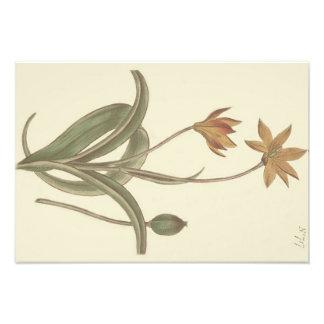 Kap-Tulpe-botanische Illustration Photographischer Druck