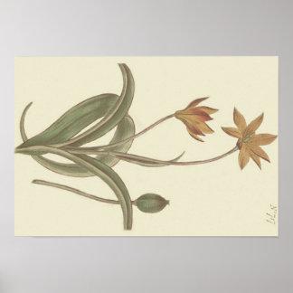 Kap-Tulpe-botanische Illustration Poster