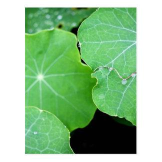Kapuzinerkäse-Blätter mit Wasser-Tropfen Postkarte
