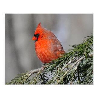 Kardinals-männlicher Vogel - Druck Photodrucke