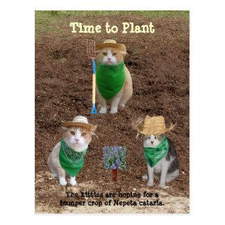 Katzen-Bauern, die Catmint. pflanzen Postkarte