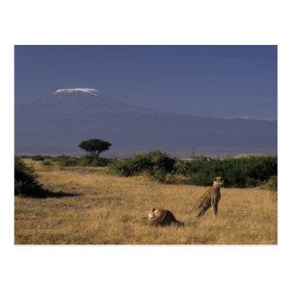 Kenia: Amboseli, zwei Geparde ('Acinonyx Postkarte