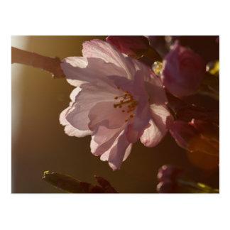 Kirschblüte im Sonnenlicht des späten Nachmittages Postkarte