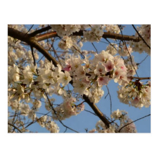 Kirschblüten-Postkarte Postkarte