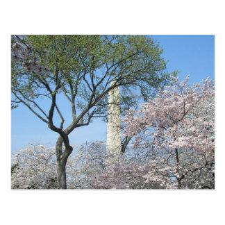 Kirschblüten und das Washington-Monument in DC Postkarte