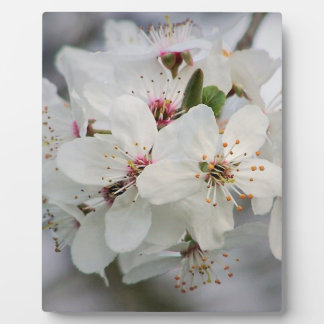 Kirschkirschblüte-Blüte Fotoplatte