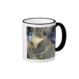 Koala, Phascolarctos cinereus), Australien, Teetasse