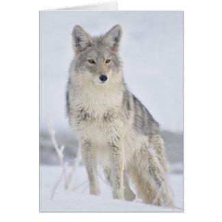 Kojote - Tier-Fotografie durch Steven Holt Karte