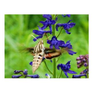 Kolibrimotte Postkarte