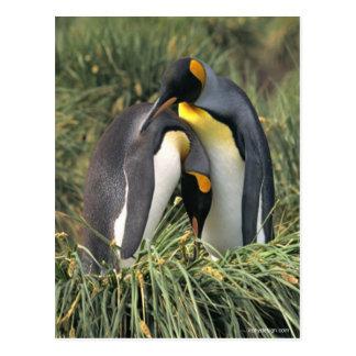 König-Pinguine Liebhaber Postkarte