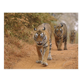 Königliche bengalische Tiger, die entlang die Bahn Postkarte
