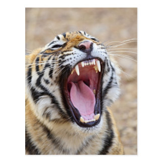 Königlicher bengalischer gähnender Tiger, Postkarte