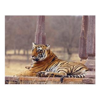 Königlicher bengalischer Tiger am ceaph, Postkarte