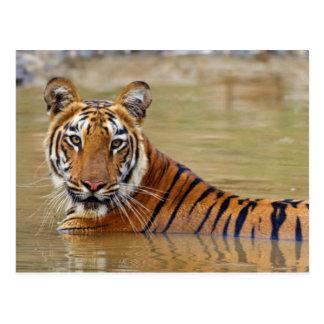 Königlicher bengalischer Tiger am waterhole Postkarte
