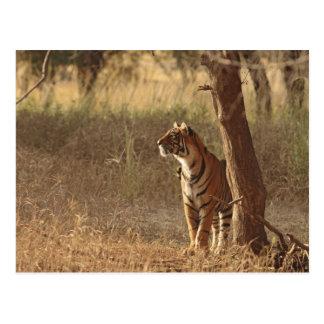 Königlicher bengalischer Tiger auf Blick heraus Postkarte