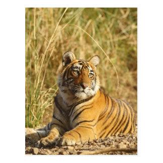 Königlicher bengalischer Tiger außerhalb der Postkarte