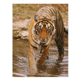 Königlicher bengalischer Tiger, der aus Postkarte