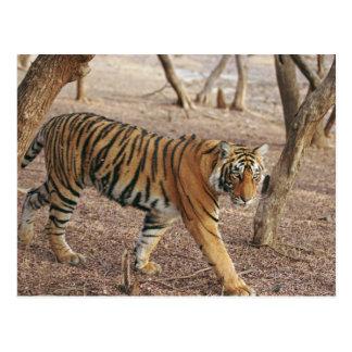 Königlicher bengalischer Tiger, der aus Waldland Postkarte