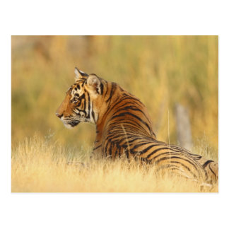 Königlicher bengalischer Tiger, der außerhalb Postkarte